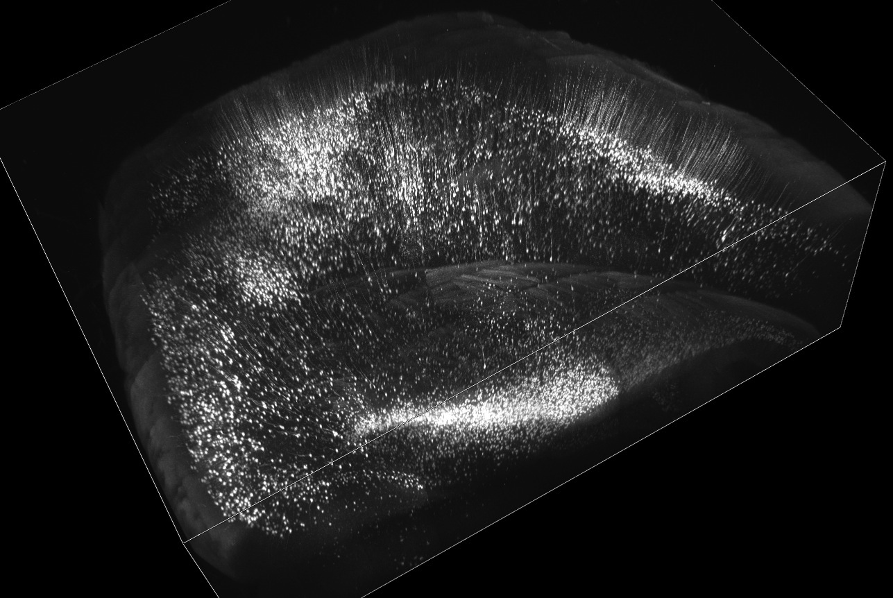 Volume rendering of mouse cerebral cortex and hippocampus. Adult Thy1-YFP-H line mouse brain was cleared with SeeDB and imaged using two-photon microscopy. Imaging area shown is 4 x 5 mm (8 x 10 tiles), 2mm thick. We could easily make a volume rendering from a large set of 3D data (in this case, 9GB two-photon data).