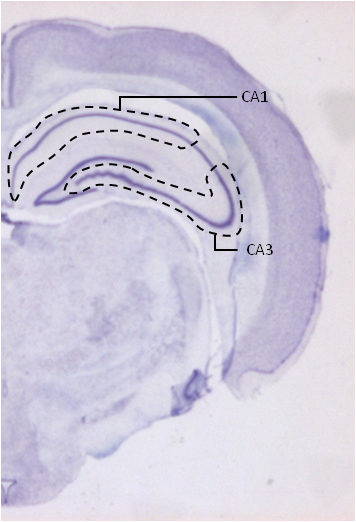 Scientists studied cresyl-violet stained sections of the left brain hemispheres of isolated and group-housed rodents.