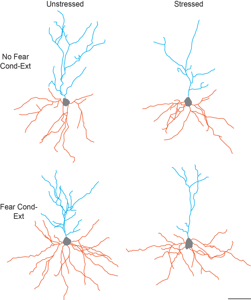 This figure illustrates the separate and combined effects of acute stress and fear conditioning/extinction on dendritic morphology of pyramidal neurons in the infralimbic region of medial prefrontal cortex. Each neuron shown is a composite made up of apical (blue) and basilar (orange) arbor near the mean of the group. The apical and basilar arbors of each composite are from different neurons. Image courtesy of Cara Wellman, PhD.