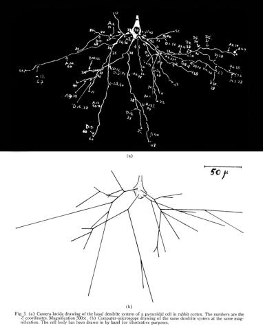Camera lucida (a) and computer-microscope (b) drawings of the dendrite systems on a pyramidal cell in rabbit cortex.